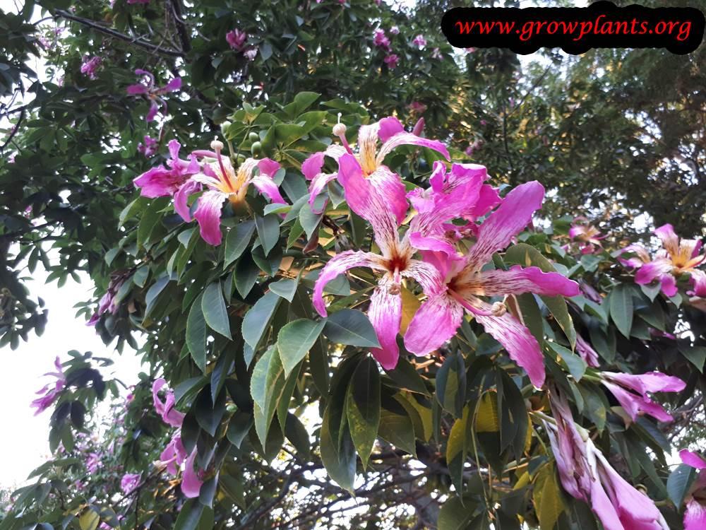 Ceiba speciosa plant care