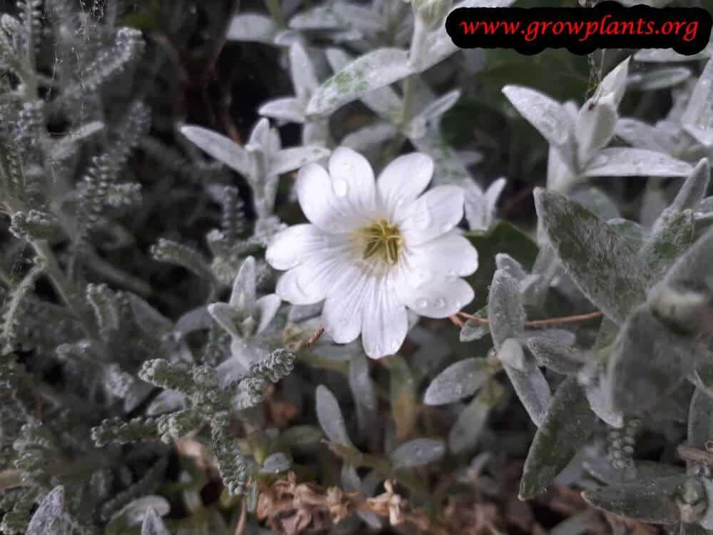 Cerastium tomentosum flower