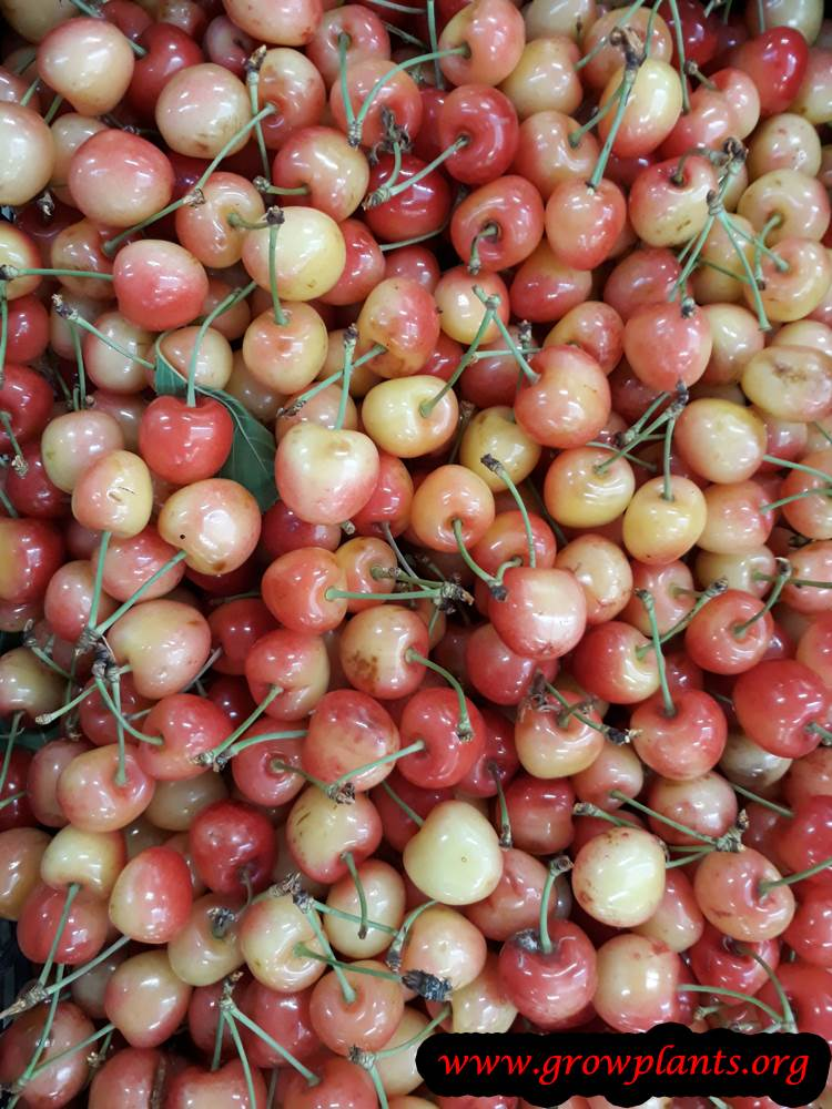 Yellow red Cherry tree harvest fruit