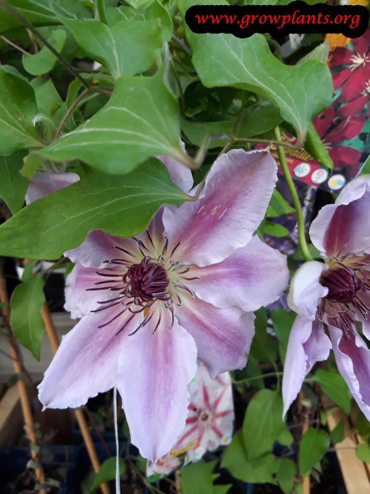 Clematis plant care and grow