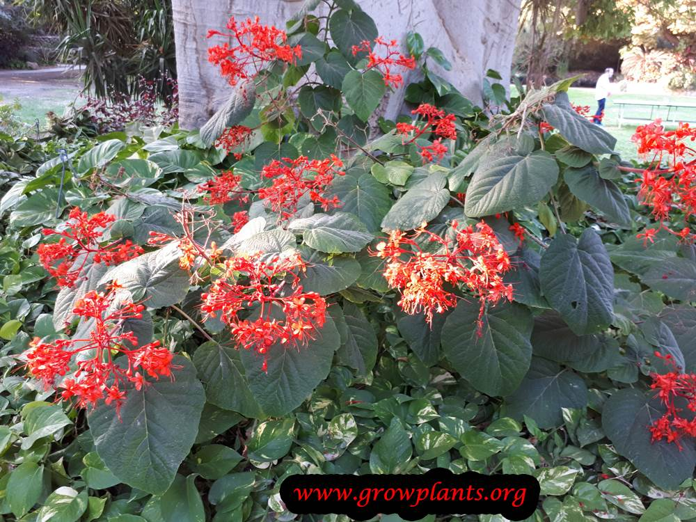 Clerodendrum buchananii