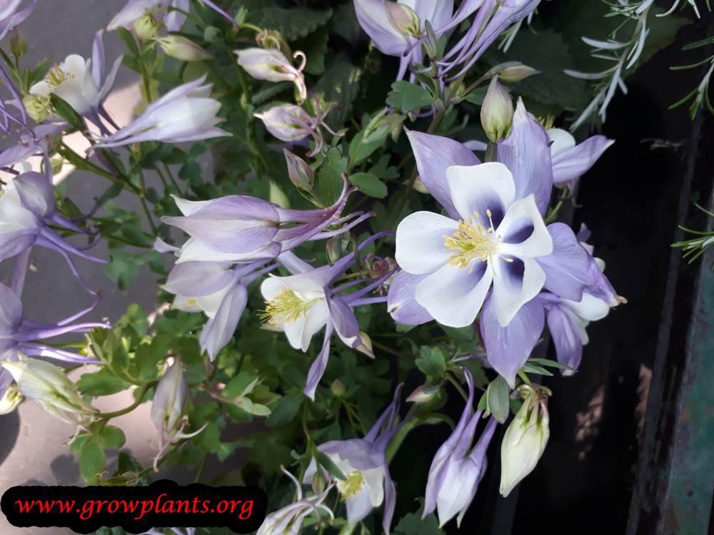 Columbine flower purple
