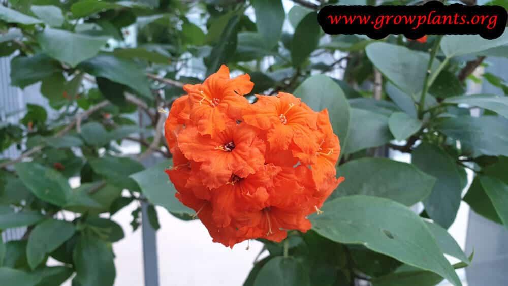 Cordia sebestena flower