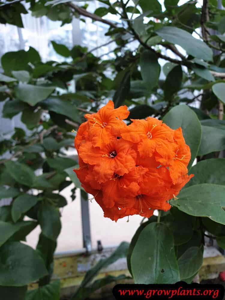 Cordia sebestena bloom information
