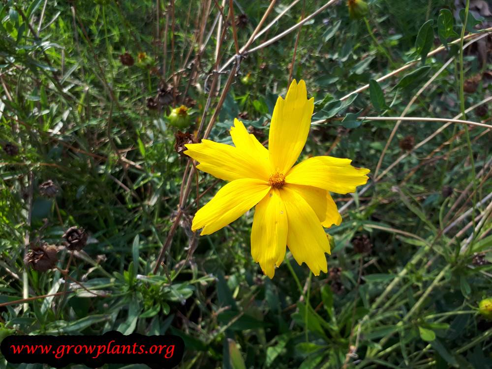 Coreopsis lanceolata flower
