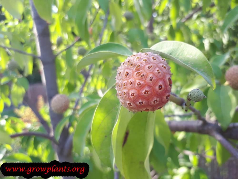 Cornus capitata fruits