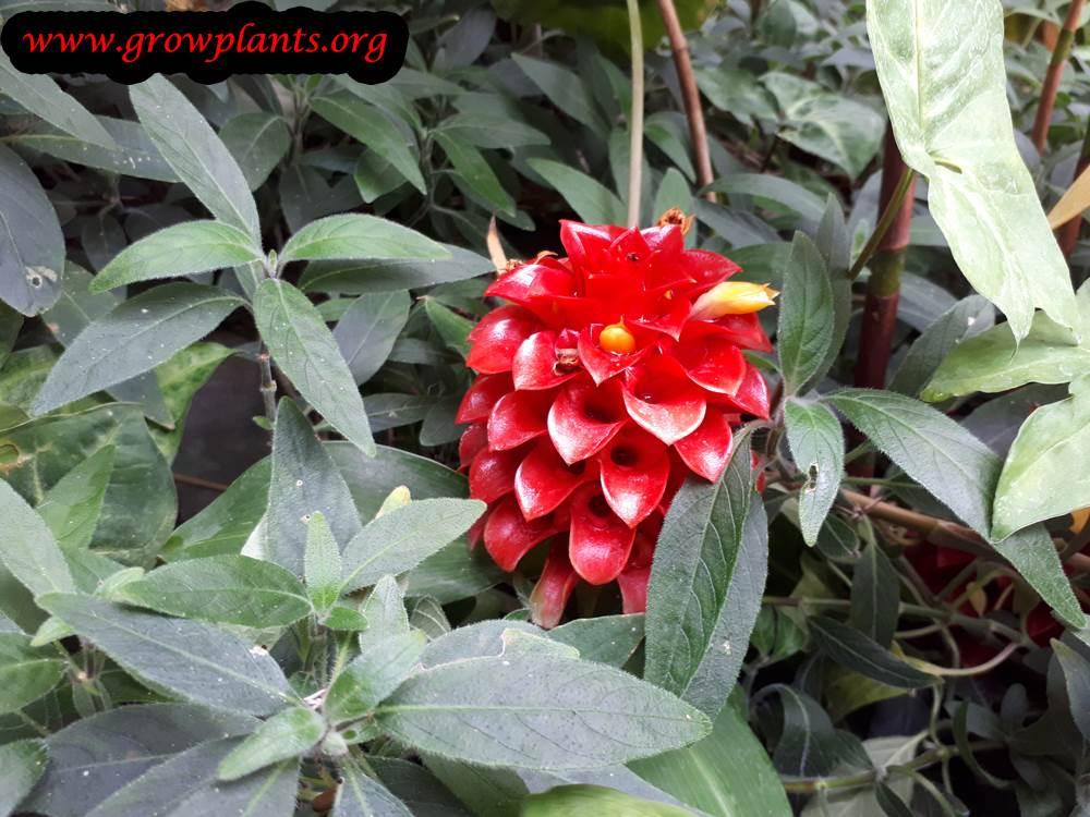 Costus barbatus plant care
