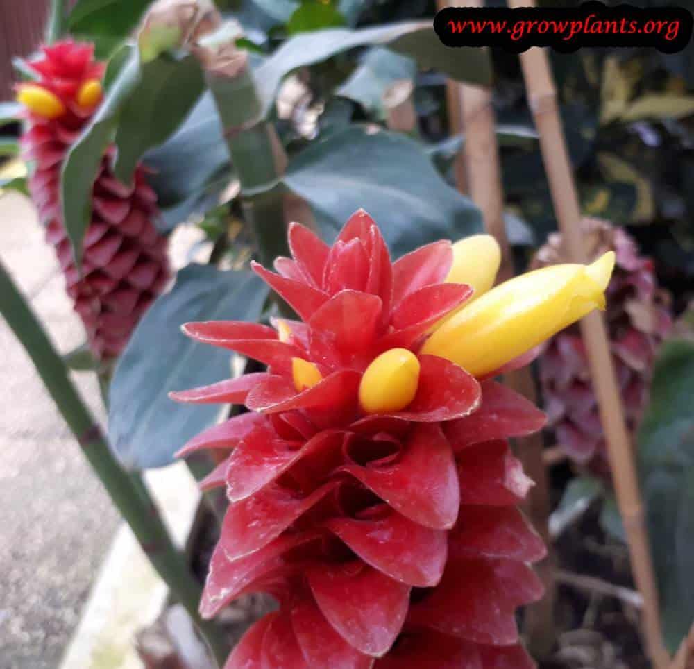 Costus barbatus flower