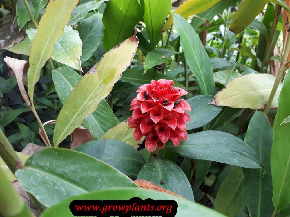 Costus barbatus plant