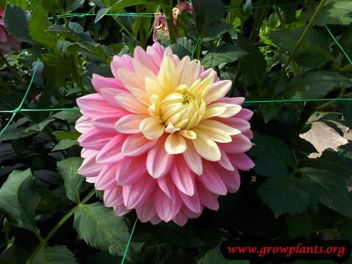Dahlia bel amour blooming