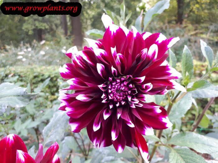 Dahlia contraste plant care