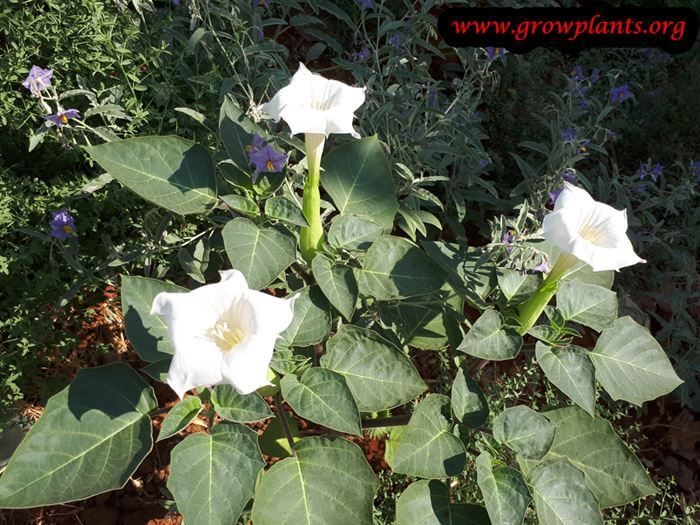Growing Datura innoxia plant