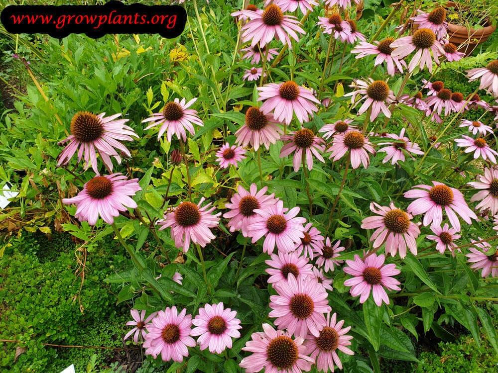 Echinacea purpurea blooming information