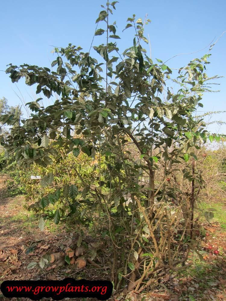 Elaeagnus latifolia