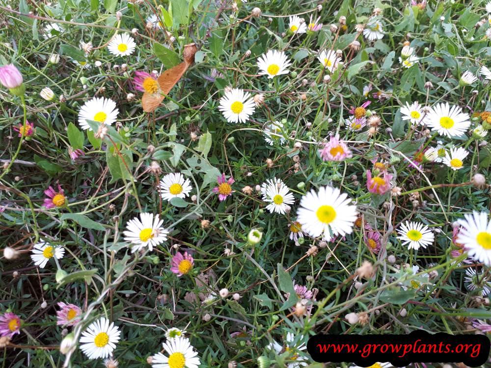 Erigeron karvinskianus flowers
