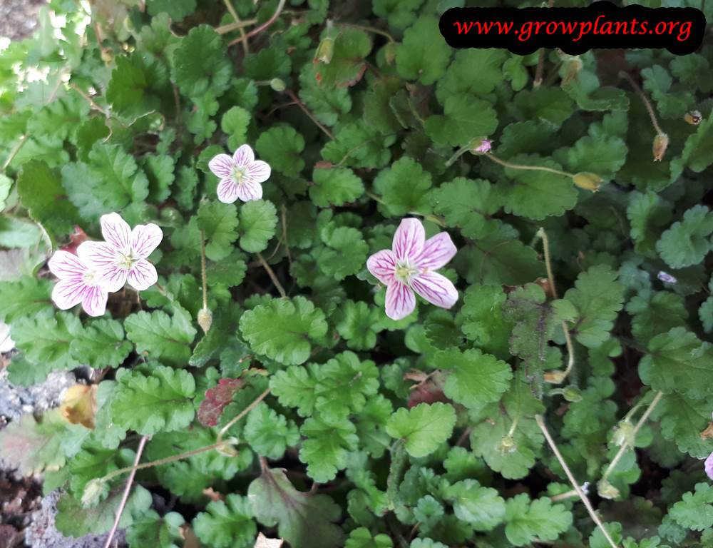 Erodium variabile flower