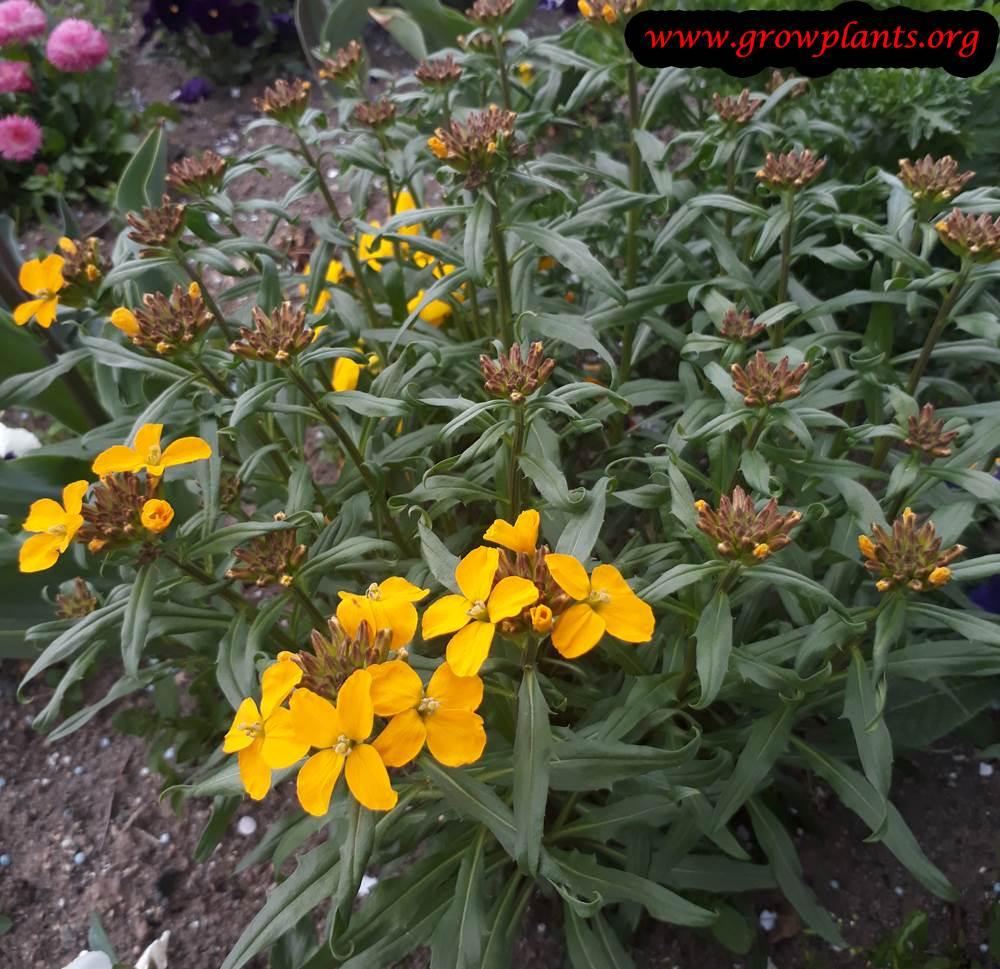 Erysimum yellow flower
