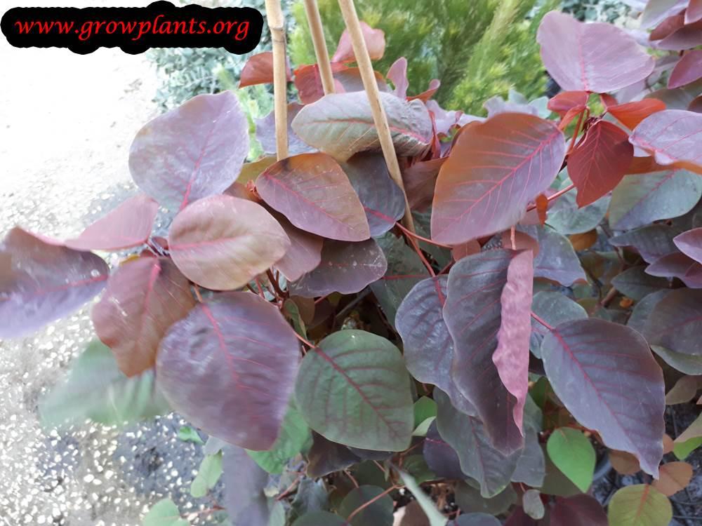 Euphorbia cotinifolia plant care