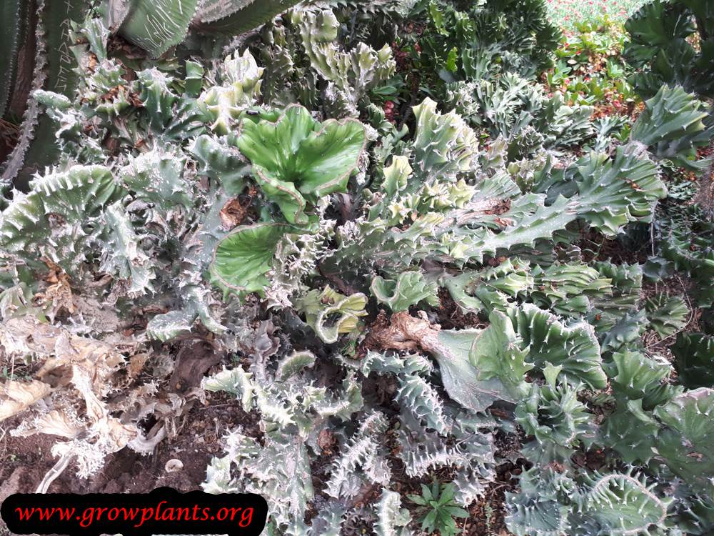 Euphorbia lactea plant care