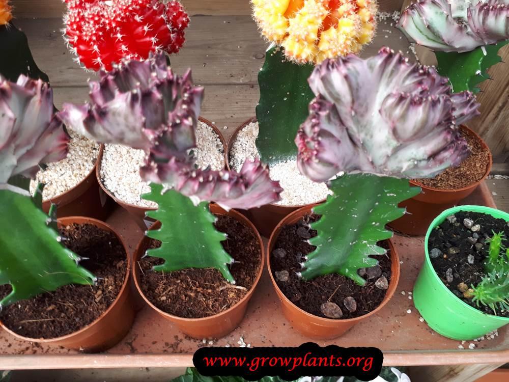 Euphorbia lactea colorful