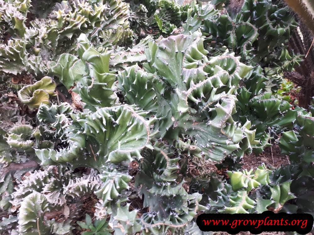 Growing Euphorbia lactea plant