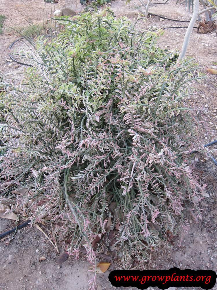 Euphorbia tithymaloides grow and care