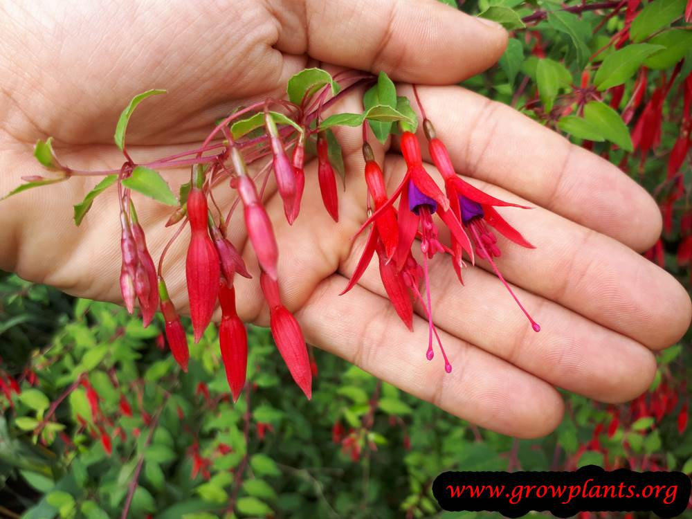 Fuchsia magellanica grow and care