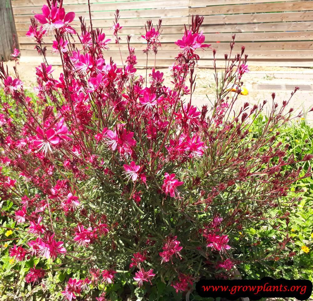 Gaura lindheimeri pink flowers