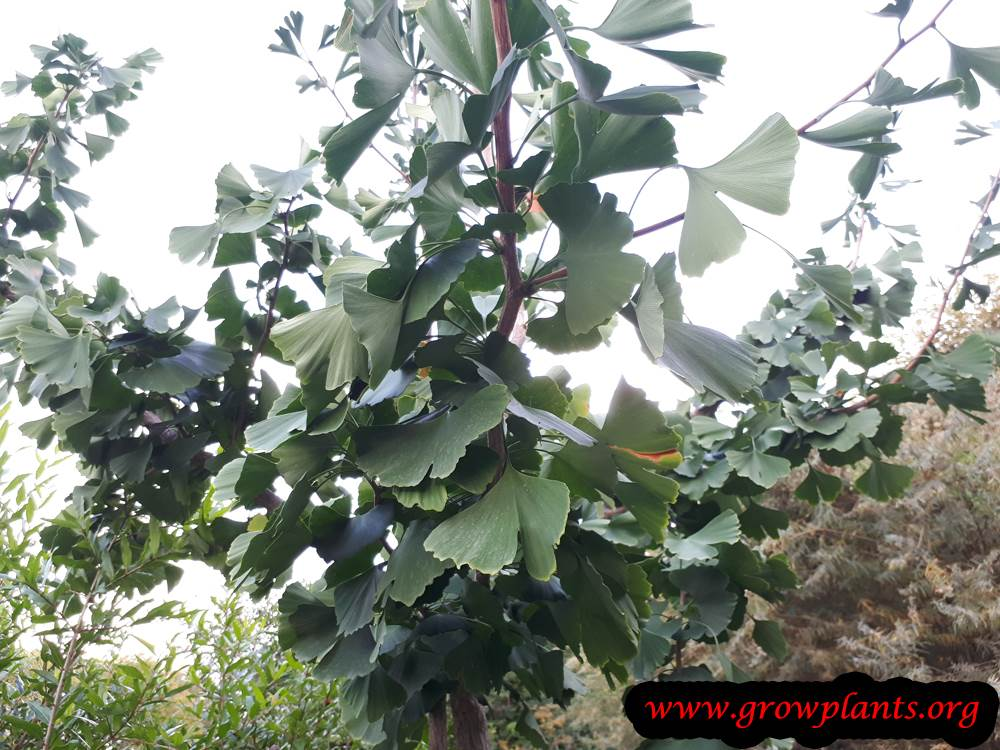 Grow Ginkgo biloba tree
