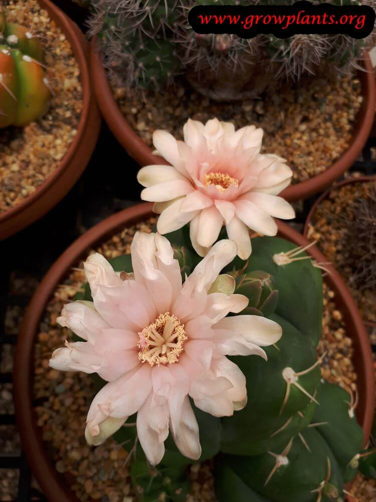 Gymnocalycium horstii flower