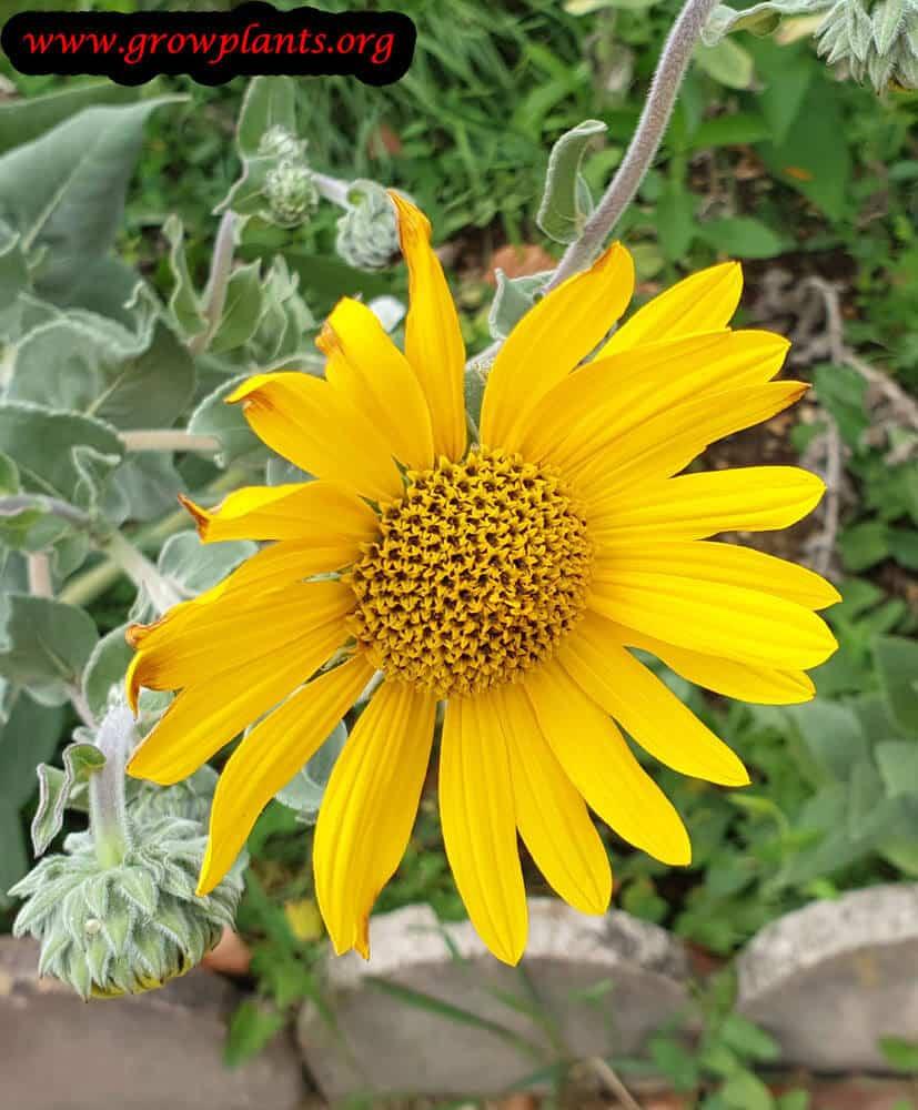 Helianthus mollis flower