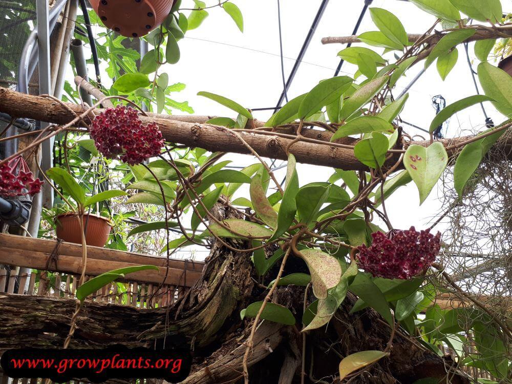 Hoya pubicalyx plant care