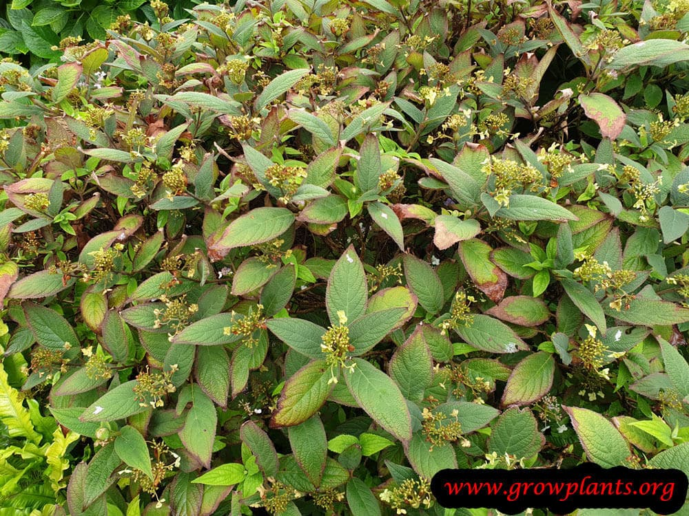 Hydrangea involucrata plant care