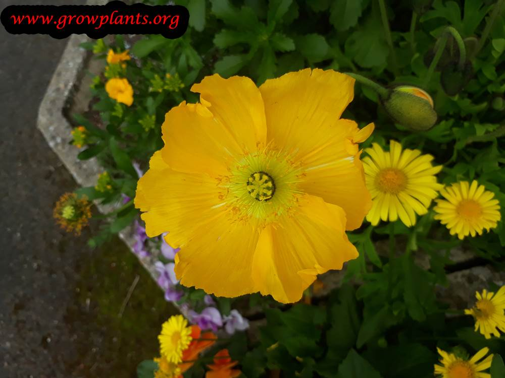 Yellow Iceland poppies