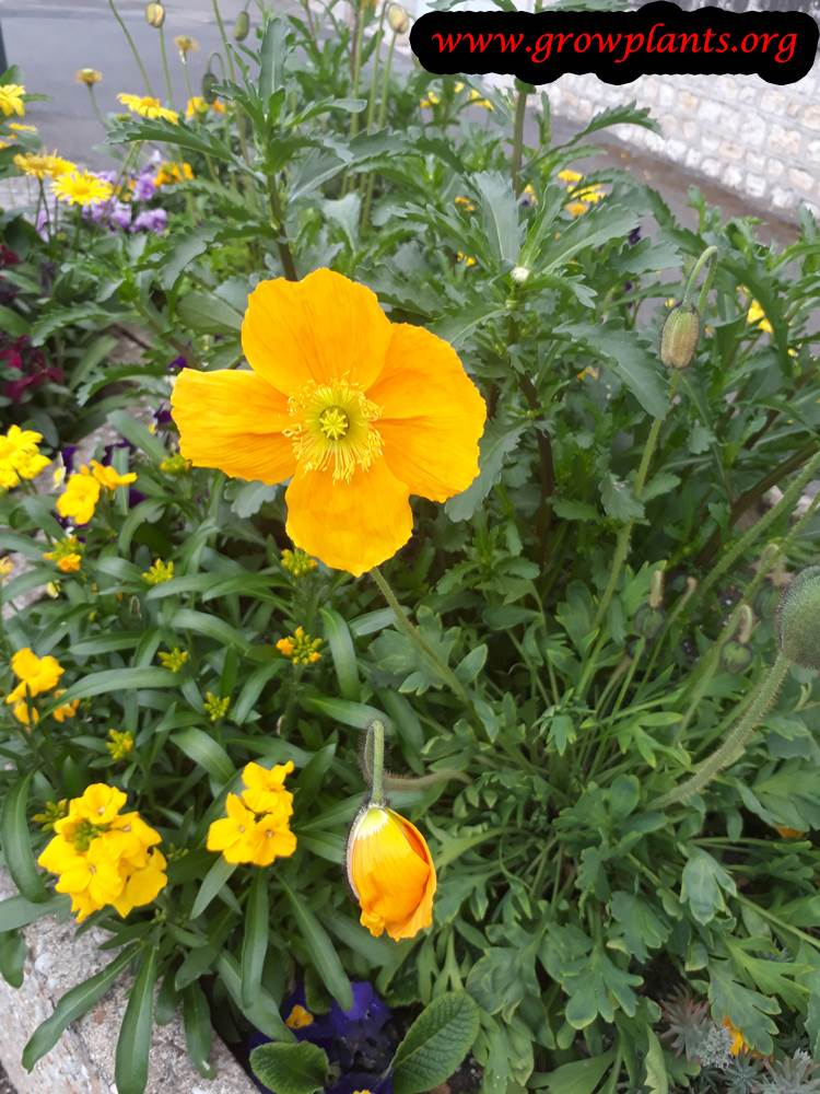 Iceland poppies plant care