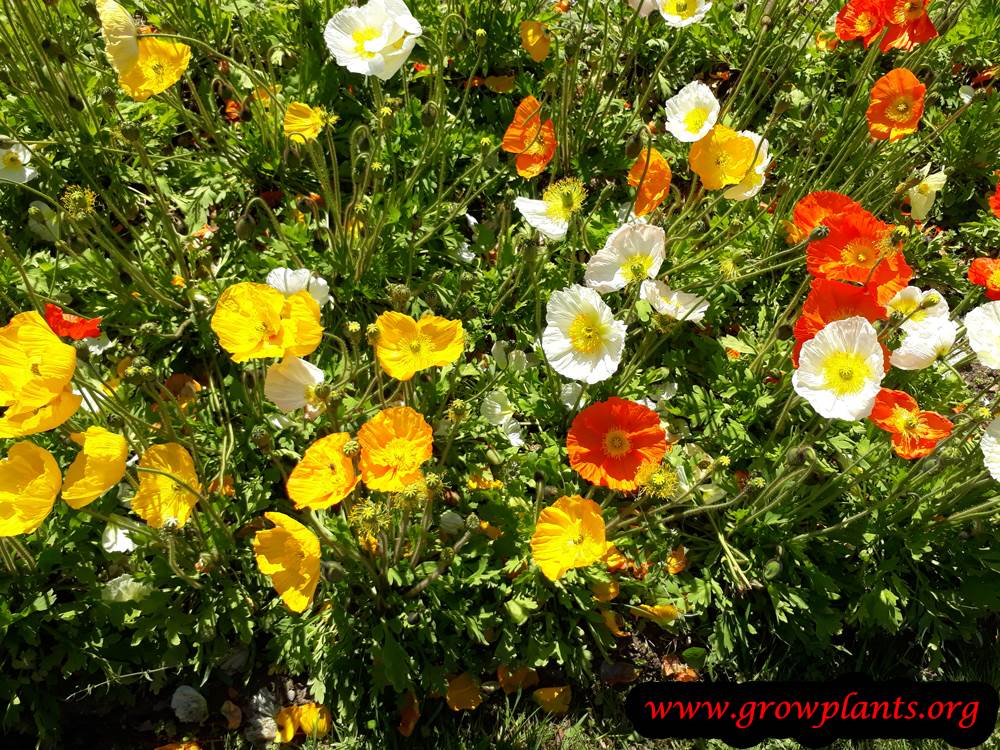 Iceland poppies blooming