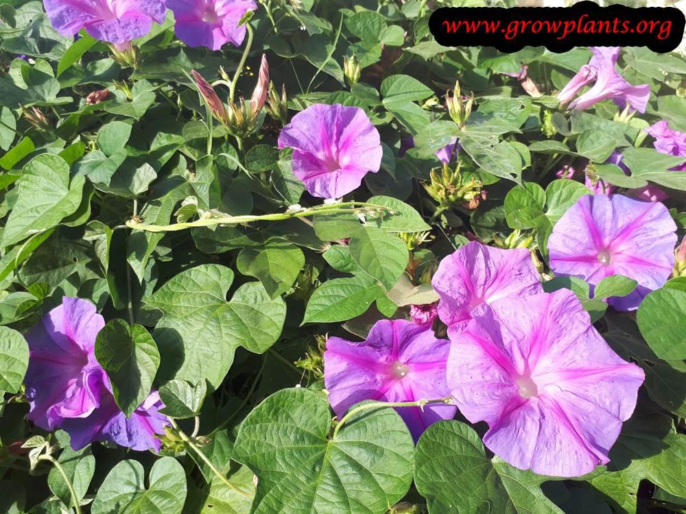Ipomoea purpurea blooming