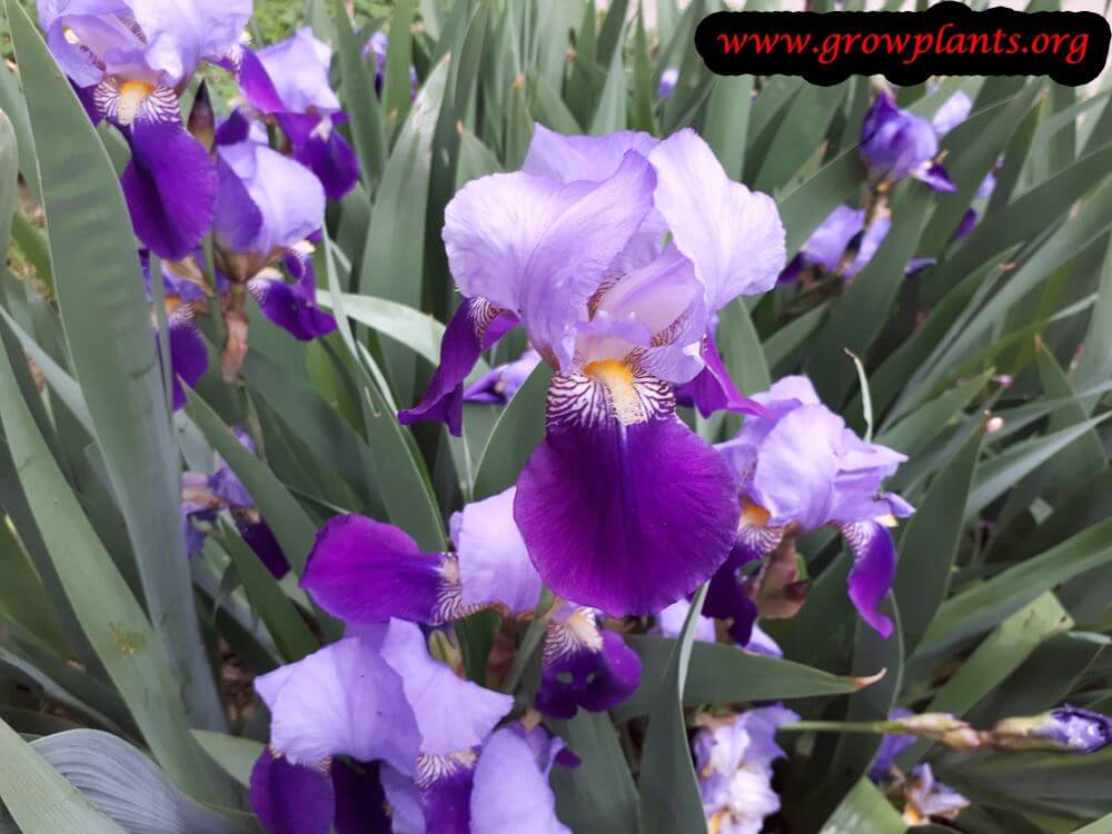 Iris germanica purple bicolor
