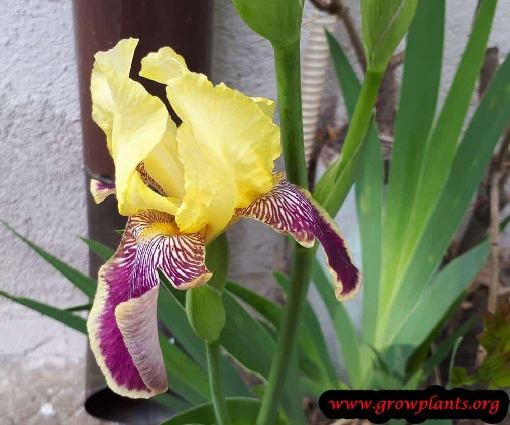 Iris germanica purple yellow