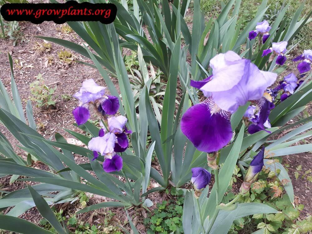 Iris germanica blooming season