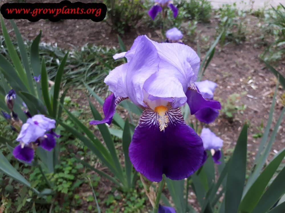 Iris germanica blooming