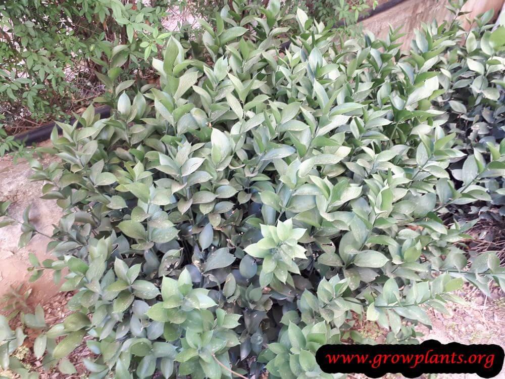 Israeli ruscus plant florist