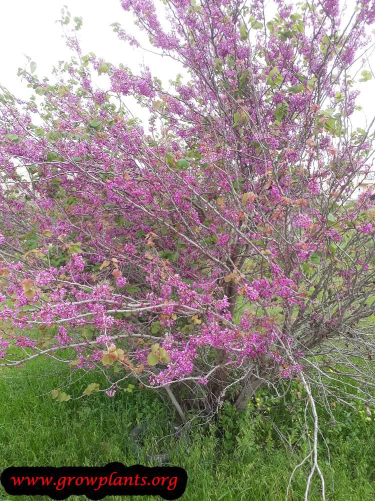 Judas tree blooming