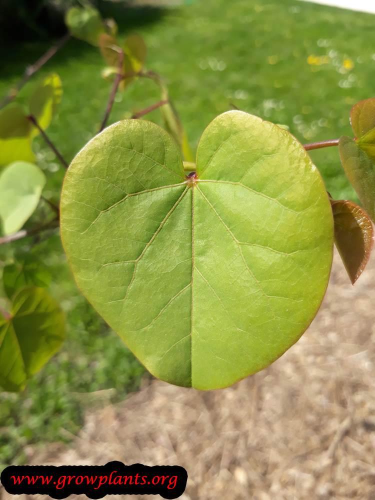 Judas tree heart leaf