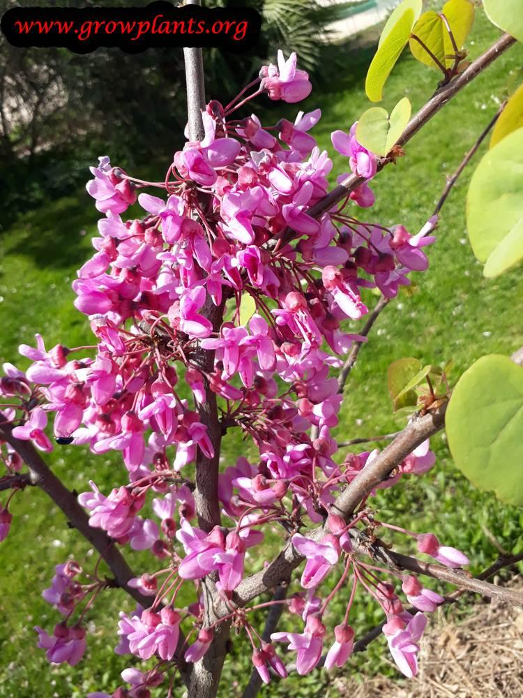 Judas tree beautiful flowers