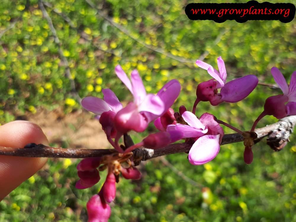 Cercis siliquastrum flower