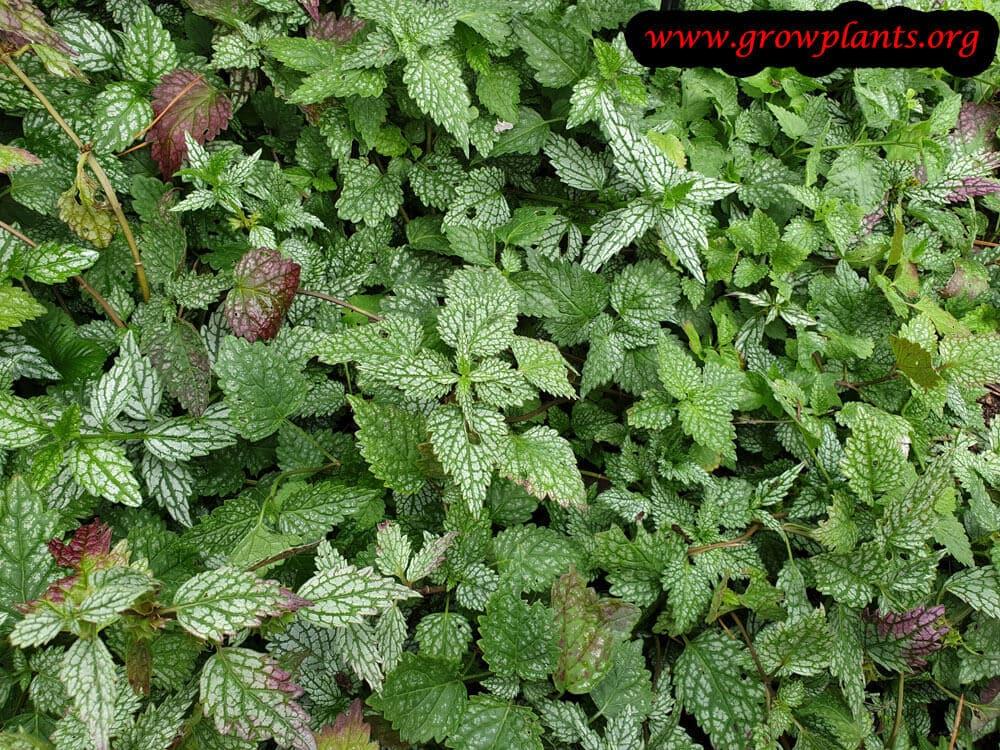 Lamium galeobdolon plant