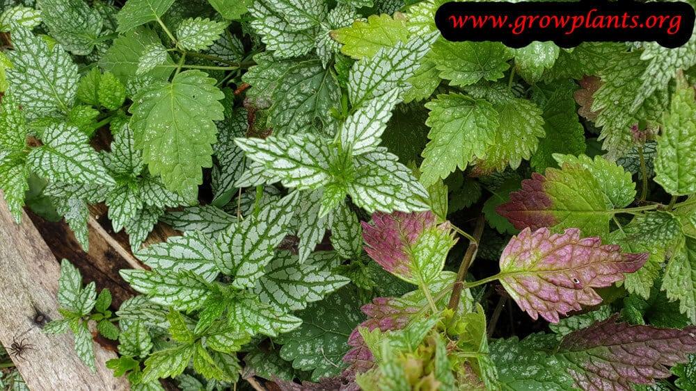 Lamium galeobdolon plant insruction