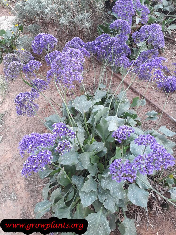 Growing Limonium perezii plant