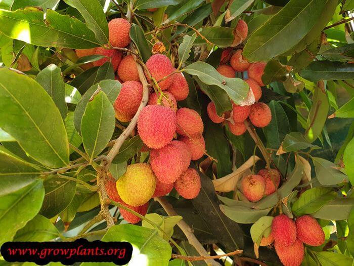 Harvesting Lychee tree fruits